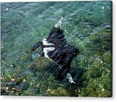 Manta Ray (manta Birostris Acrylic Print by Miva Stock