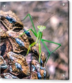 Mantis On A Pine Cone Acrylic Print by Rob Sellers