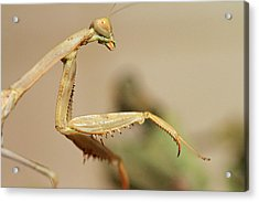 Mantis On The Hunt Acrylic Print by Shoal Hollingsworth