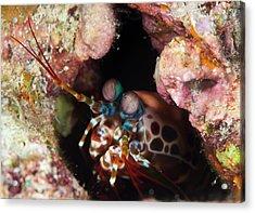 Mantis Shrimp On A Reef Acrylic Print by Louise Murray