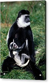 Mantled Guereza Monkey Colobus Guereza Acrylic Print