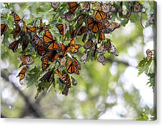Many Migrant Monarchs Acrylic Print