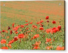 Many Poppies Acrylic Print by Anne Gilbert