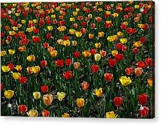 Many Tulips Acrylic Print by Raymond Salani III