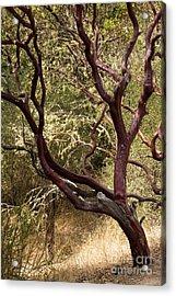 Manzanita Tree Acrylic Print