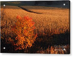 Maple And Cornfield At Dawn Acrylic Print by Larry Ricker