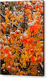 Maple Glow Limited Edition Acrylic Print