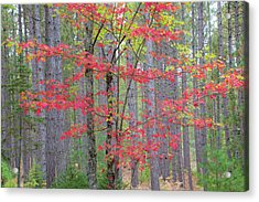 Maple In Fall, Hiawatha National Acrylic Print