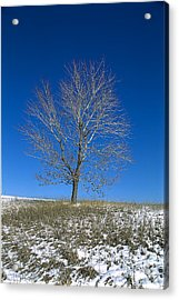 Maple In Winter Acrylic Print