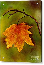 Maple Leaf In It's Yellow Splendor Acrylic Print by Nan Wright