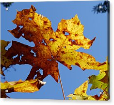 Maple Leaf On A Blue Sky Acrylic Print by Peter Mooyman