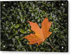 Maple Leaf On Boxwood Acrylic Print