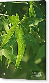 Maple Leaves Acrylic Print by Dan Radi