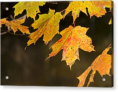 Maple Leaves In Autumn Acrylic Print by Larry Bohlin
