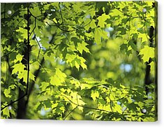 Maple Leaves In Spring Acrylic Print by Dennis Lundell
