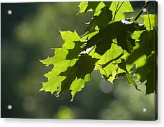 Maple Leaves In Summer Acrylic Print