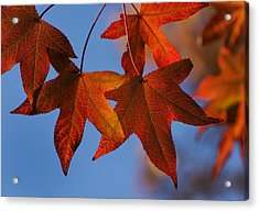 Maple Leaves In The Fall Acrylic Print by Stephen Anderson