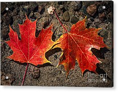 Maple Leaves In Water Acrylic Print
