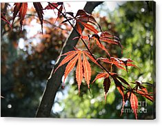 Maple On Pine Acrylic Print