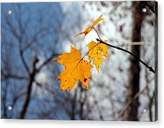 Maple On The Blue Acrylic Print