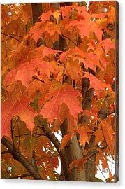 Maple Orange Acrylic Print