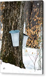 Maple Sap Collection Acrylic Print by Cheryl Baxter