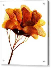 Maple Seed Pod Cluster Acrylic Print