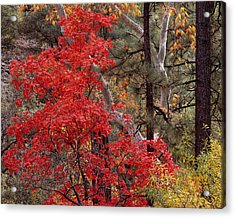 Maple Sycamore Pine-h Acrylic Print