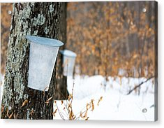 Maple Syrup Time Acrylic Print by Cheryl Baxter
