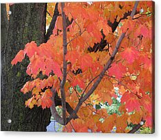 Maple Tree  Acrylic Print by Lyle Crump