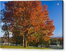 Maple Trees Acrylic Print by Brian Jannsen