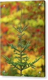 Maple Trees In Fall Color, Hiawatha Acrylic Print