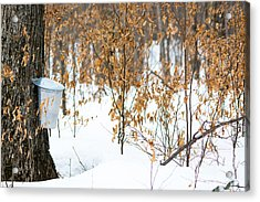 Maple Woods Acrylic Print by Cheryl Baxter