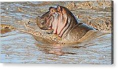 Mara River Hippo Acrylic Print by Aaron Blaise
