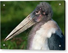 Marabou Stork Acrylic Print by Nigel Downer