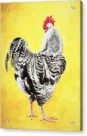Maran Cockrel Acrylic Print by Jeanne Maze