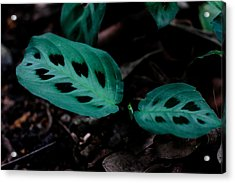 Maranta Leuconeura Acrylic Print by Donald Chen