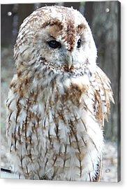 Marbled Owl Acrylic Print