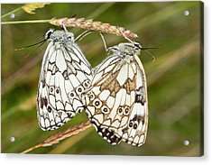 Marbled White Butterflies Mating Acrylic Print by Bob Gibbons