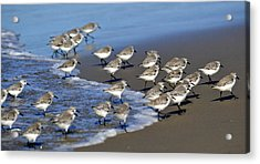March Of The Sandpipers Acrylic Print