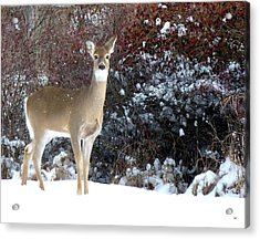 March Snow And A Doe Acrylic Print