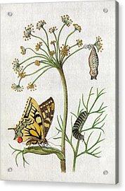 Maria Sybella Merian 1683 Metamorphosis Acrylic Print