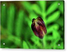 Marigold Bud Acrylic Print