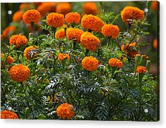 Marigold Flowers  Acrylic Print by Johnson Moya