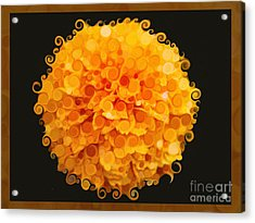 Marigold Magic Abstract Flower Art Acrylic Print by Omaste Witkowski
