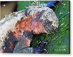 Marine Iguana Eating Green Seaweed Acrylic Print by Sami Sarkis