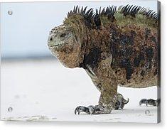 Marine Iguana Male Turtle Bay Santa Acrylic Print by Tui De Roy