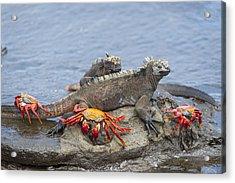 Marine Iguana Pair And Sally Lightfoot Acrylic Print by Tui De Roy