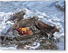 Marine Iguana Trio And Sally Lightfoot Acrylic Print by Tui De Roy