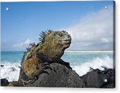 Marine Iguana Turtle Bay Santa Cruz Acrylic Print